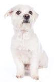 Kort haired maltese hund Arkivfoton
