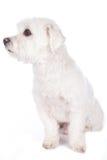 Kort haired maltese hund Royaltyfria Bilder
