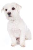 Kort haired maltese hund Arkivbilder