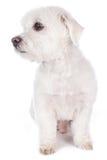 Kort haired maltese hund Arkivfoto