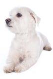 Kort haired maltese hund Fotografering för Bildbyråer