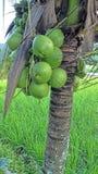 Kort kokospalm i Malaysia Arkivfoto
