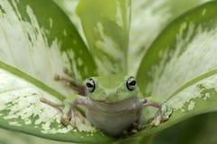 Kort och tjock grodagräsplan arkivfoton