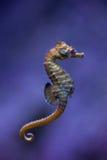 Kort-snouted seahorse & x28; Hippocampushippocampus& x29; Arkivfoto