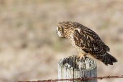 Kort stavelse gå i ax Owl Royaltyfria Foton