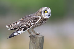 Kort stavelse-Gå i ax Owl på staketstolpen royaltyfria foton
