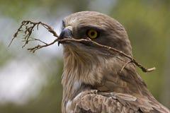 Kort-Toed adelaar Royalty-vrije Stock Foto's