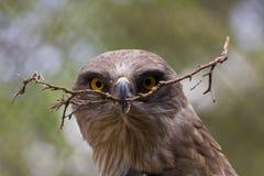 Kort-Toed adelaar Royalty-vrije Stock Afbeeldingen
