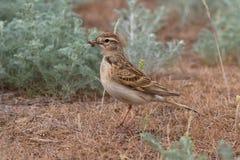 Kort-Toed leeuwerikzitting in de woestijn met een insect Stock Foto
