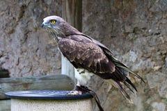 Kort-Toed slangadelaar, circaetusgallicus ook wordt bekend als kort-toed adelaar die stock foto