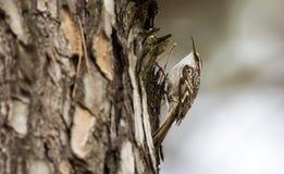 Kort-toed treecreeper Arkivfoton