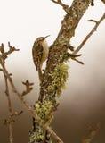 Kort-toed Treecreeper på filial Royaltyfri Fotografi