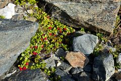 Kort vintergrön buske av lingonlingonet, partridgeberrynolla royaltyfri bild