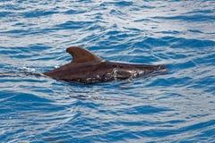 Korte finned proefwalvis van kust van Tenerife, Spanje Royalty-vrije Stock Afbeelding