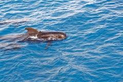 Korte finned proefwalvis van kust van Tenerife, Spanje Stock Afbeelding