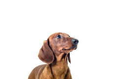 Korte rode die Tekkelhond, jachthond, over witte achtergrond wordt geïsoleerd Royalty-vrije Stock Foto's