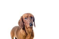 Korte rode die Tekkelhond, jachthond, over witte achtergrond wordt geïsoleerd Stock Foto's