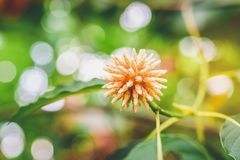 Korth chałupa kwitnie, Krata kwiatów dorośnięcie w naturze jest uzależniający i medyczny zdjęcia royalty free