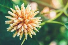 Korth-Häuschenblumen, Kratom-Blumenwachsen in der Natur sind süchtig machend und medizinisch lizenzfreie stockfotos