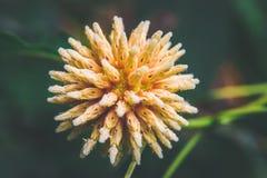 Korth-Häuschenblumen, Kratom-Blumenwachsen in der Natur sind süchtig machend und medizinisch lizenzfreie stockbilder
