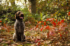Korthals Griffon sitting in an autumn landscape Stock Images