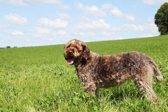 Korthals oder Wire-Haired Zeigen Griffon Stockfotos