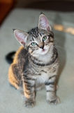 Kortharige Grey Tabby Kitten Sitting Royalty-vrije Stock Foto's