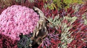 Kortkortträdgård Söta blomma blomma röda rosa Violet Chrysanthemums arkivfoton
