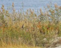 Kortslutning gå i ax Owl Revealed Near The Ocean Royaltyfri Fotografi