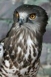 Kortslutning toed Eagle royaltyfria foton