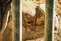 Kortslutningsskott av en Ceratotheriumsimum för vit noshörning bak en säkerhetsport arkivbild