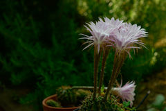 Kortstondige bloemen van cactus Stock Afbeeldingen