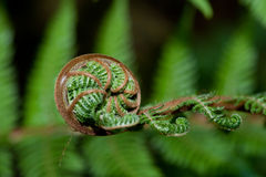 Koru  C Royalty Free Stock Photography