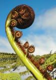 Koru. Fougère argentée de la Nouvelle Zélande. Images libres de droits
