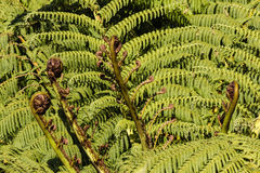Koru fronds Stock Photography