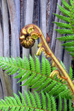 Koru Tree Fern Frond & Trunk Symbol of New Zealand Stock Image