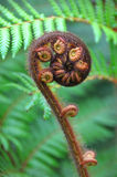 Koru Tree Fern Symbol of New Zealand Stock Photo