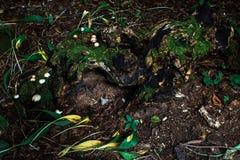 Korzeń drzewo przerastający z mech Obrazy Royalty Free