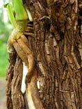 Korzeń wspinaczka na drzewie fotografia royalty free