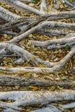 Korzeń drzewo Obrazy Royalty Free