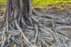 Korzeń drzewo Zdjęcie Stock