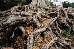 Korzeń stary durian drzewo Zdjęcia Stock