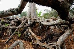 Korzeń stary durian drzewo Obraz Stock
