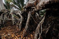 Korzeń stary durian drzewo Obraz Royalty Free