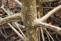 Korzeni drzewa w naturze w Pongthong odpowiadają Rayong Zdjęcie Royalty Free