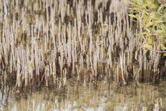 Korzenie białego mangrowe drzewo w tropikalnej lagunie Obraz Stock