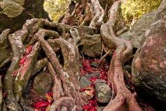Korzenie drzewa lokalizują na kamieniu Zdjęcia Stock