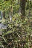 Korzenie drzewa wystawiający brzeg jeziora przy Jeziornym Windermere Zdjęcia Royalty Free