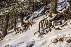 Korzenie drzewo Obraz Stock