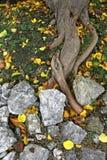 Korzenie drzewo, kamienie i kolorów żółtych liście, Obrazy Royalty Free